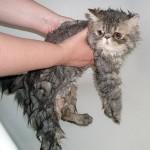 Islak Kediler